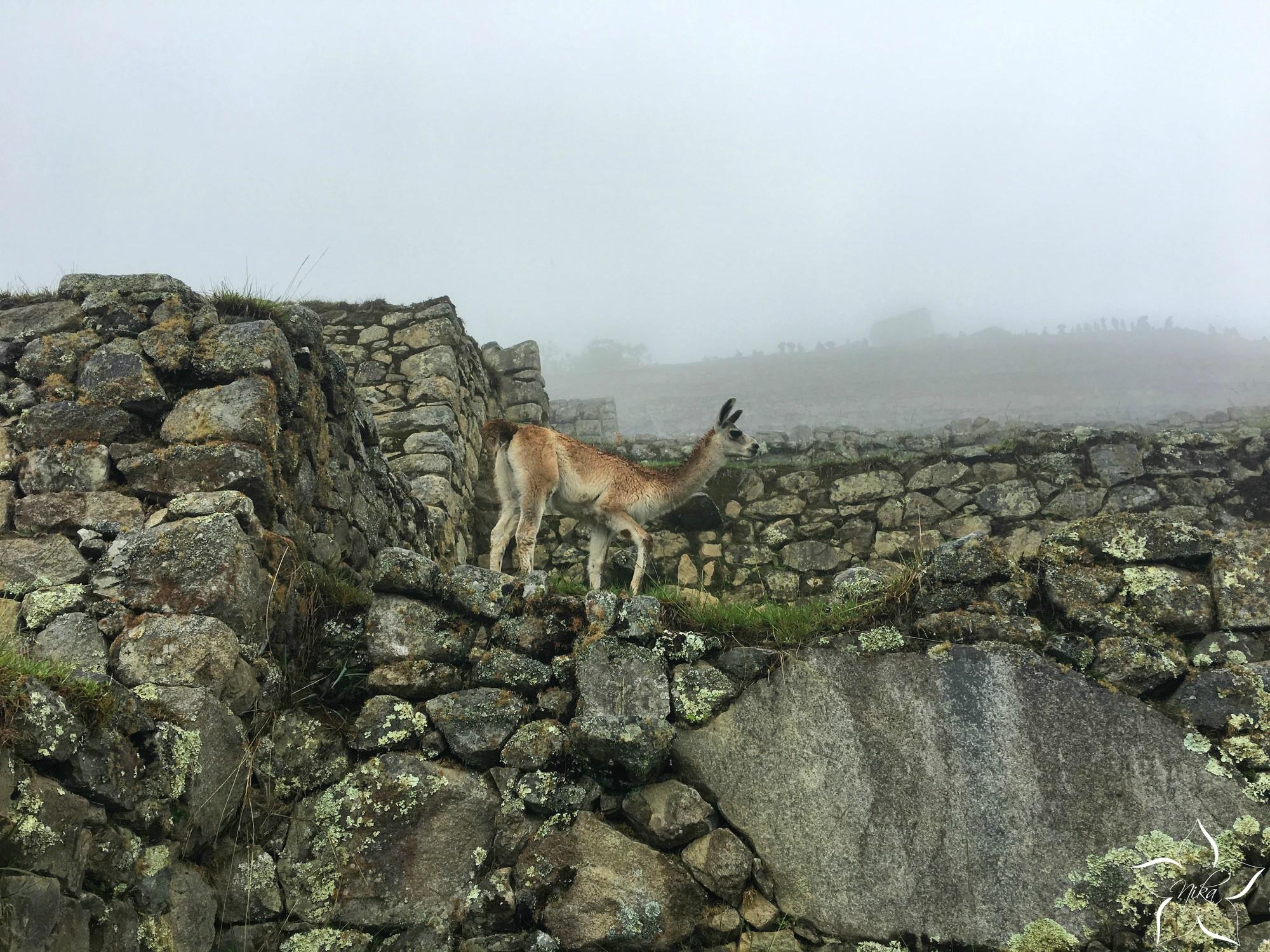 Peru Machu Picchu lama