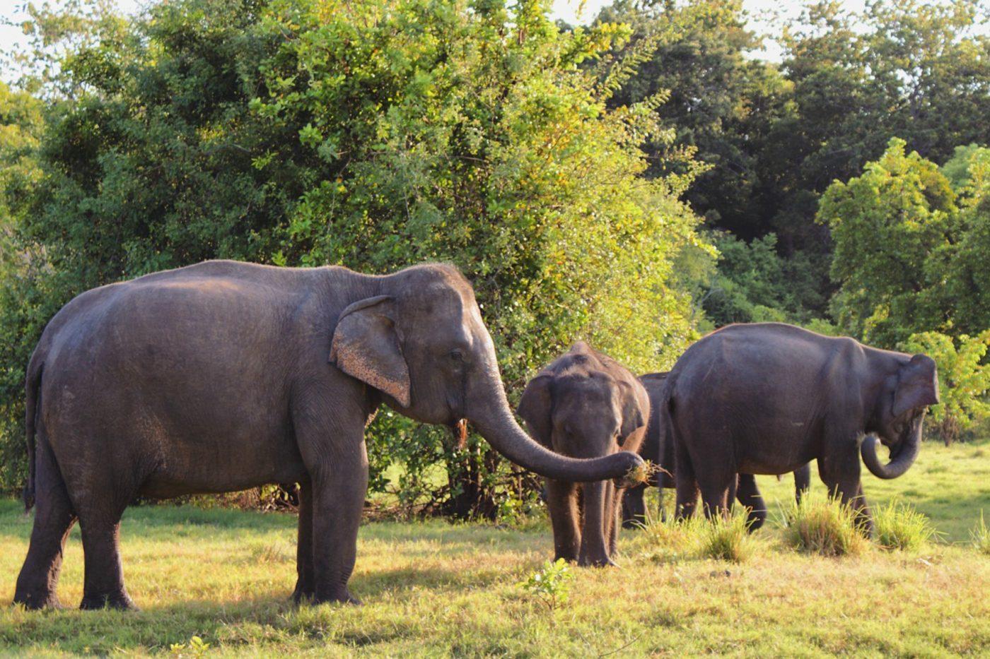 osud-slonov-na-sri-lanke