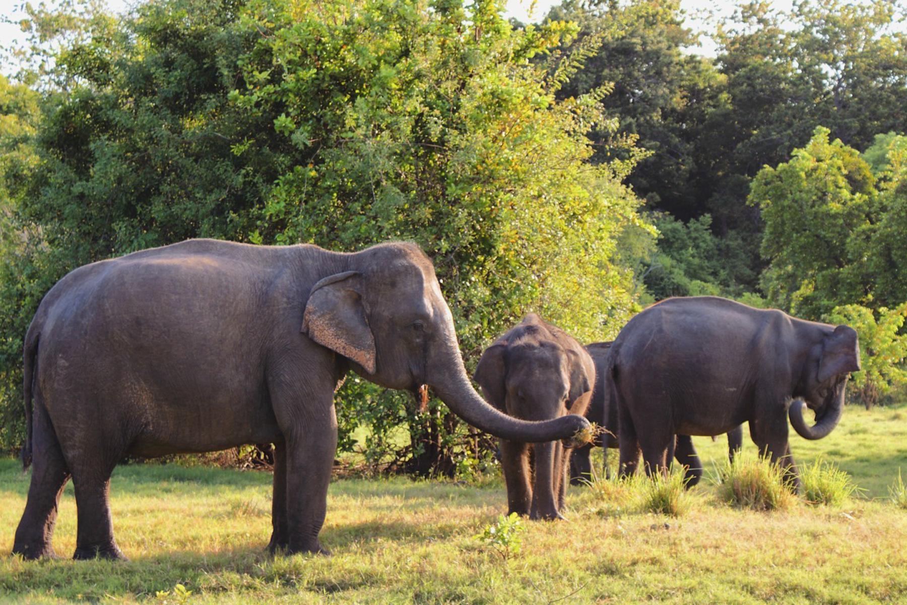 Aký je osud slonov na Srí Lanke?