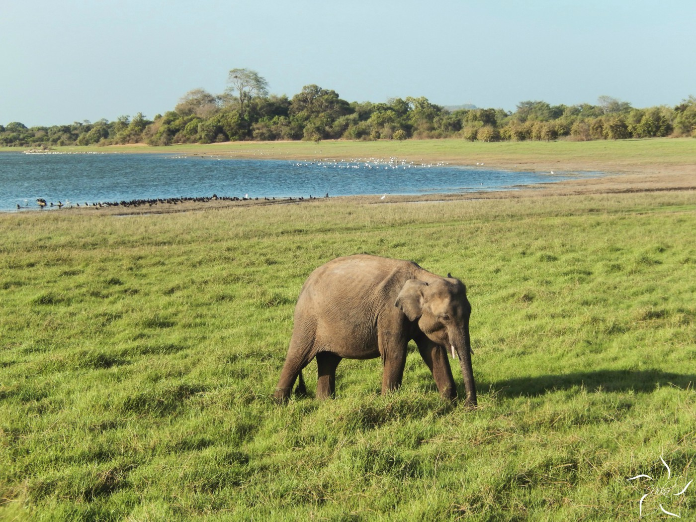 sri lanka minneriya national park elephant slon