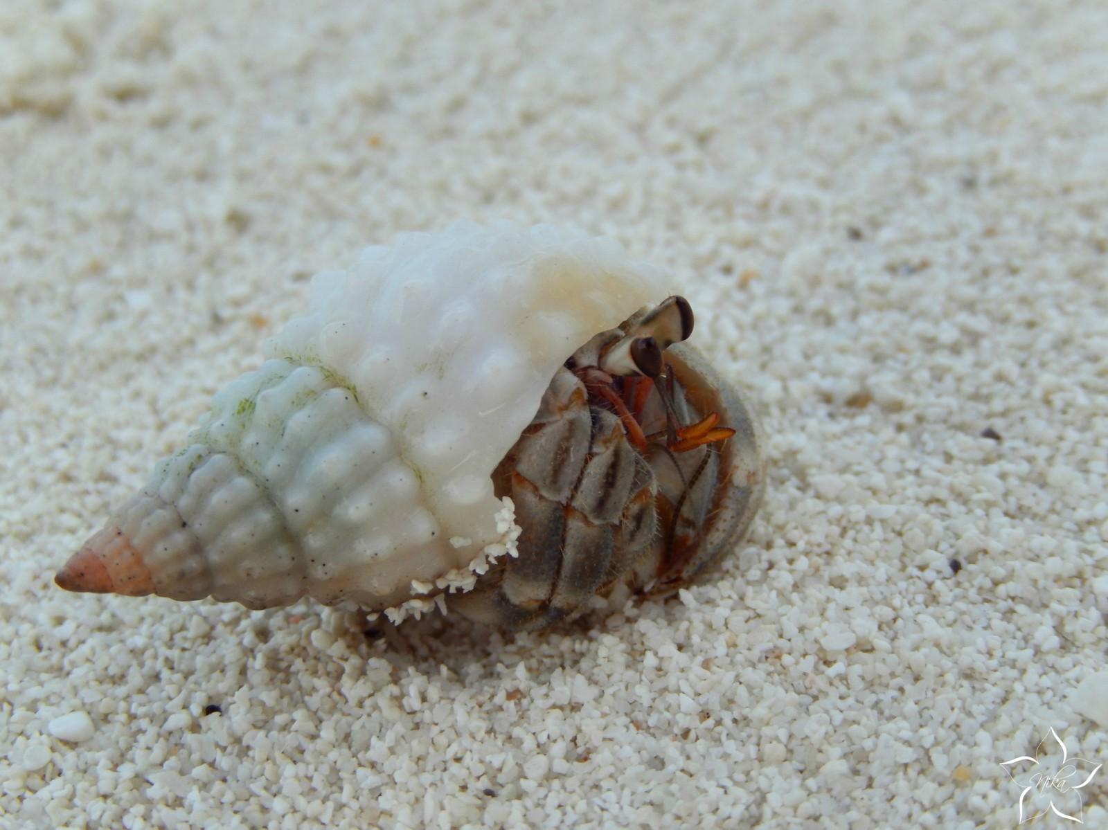 krab maldivy