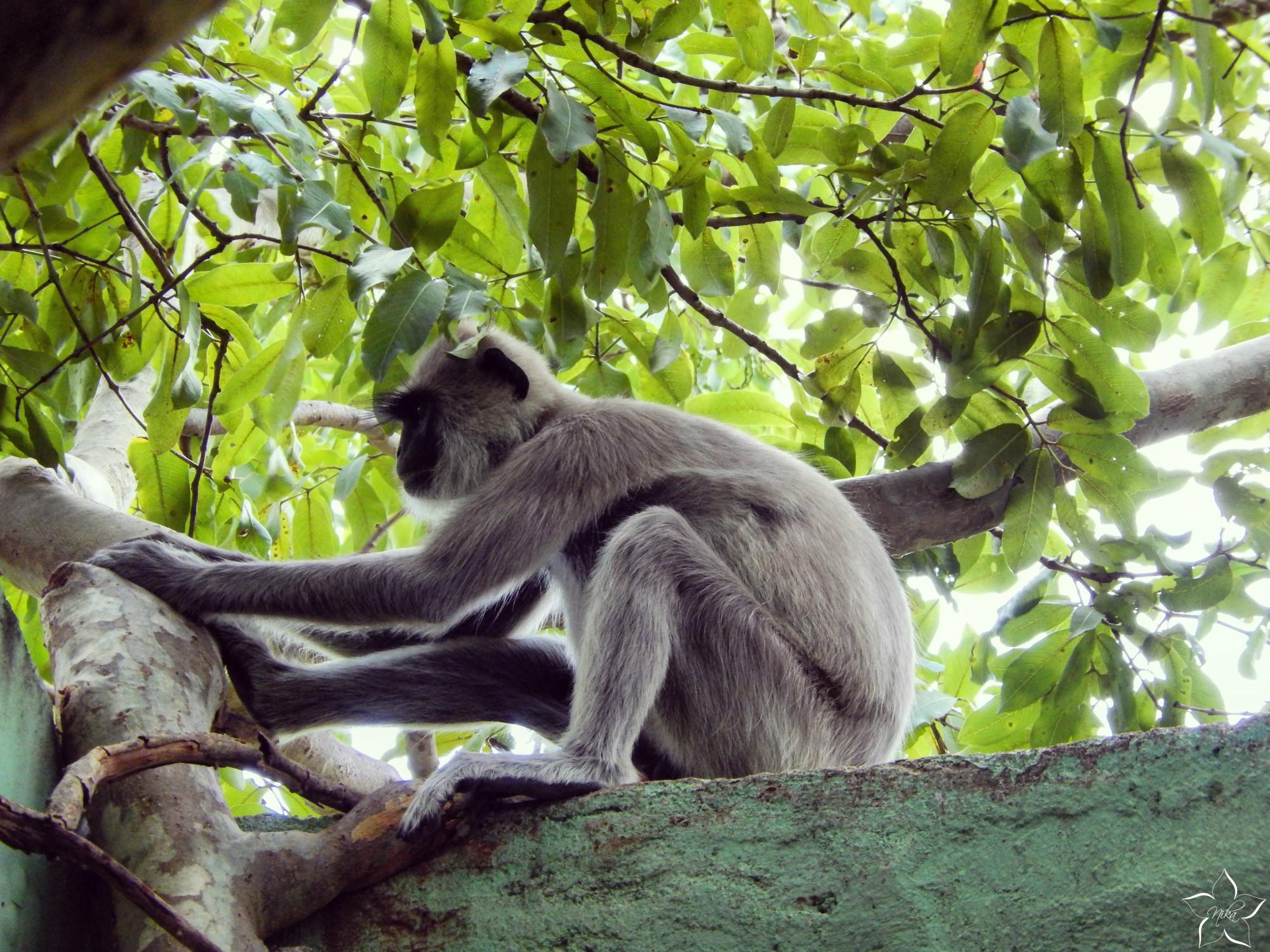 opica sri lanka sigiriya cestovanie