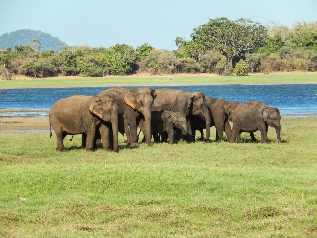 Slony stado sri lanka minneriya