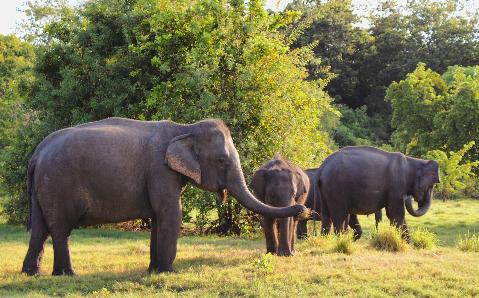 Sri Lanka Azia narodny park slony