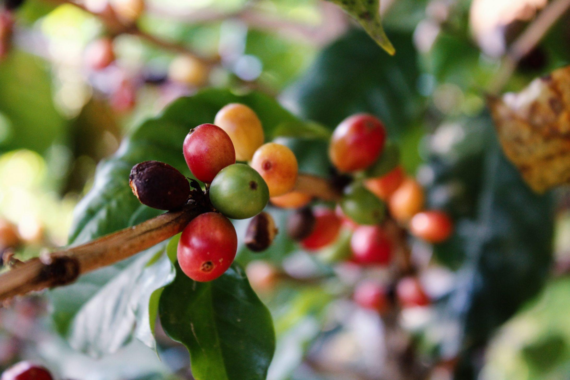 Cestovanie po Kolumbii - pestovanie kávy