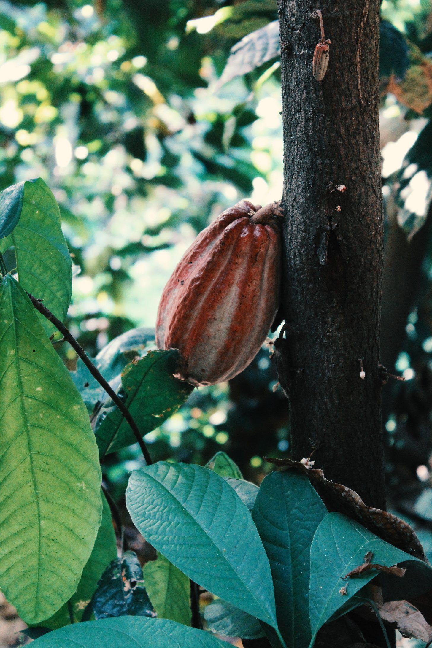 Kolumbia a pestovanie kakaa - Dovolenka v Južnej Amerike