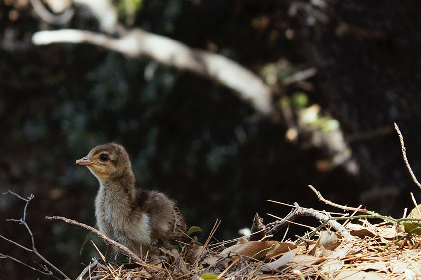 Ostrov Lokrum - pávie mláďa